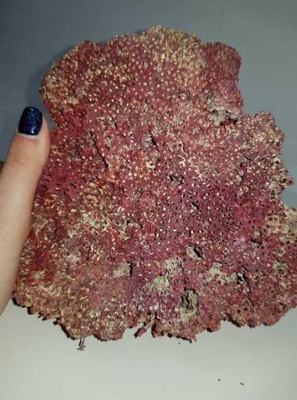 קורל טבעי סלע איכותי (לא צבוע) גוון אדום משקל: 526 גרם